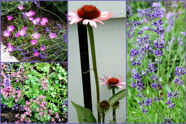 Lavender Walk flowers