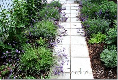 lavender walk July 2016