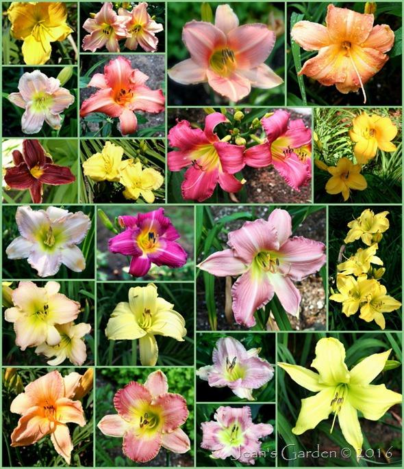 peak daylilies