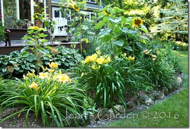 Primozich daylily planting by house