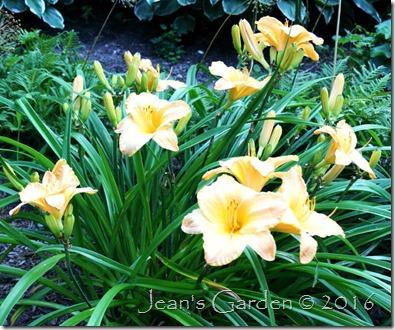 Primozich daylily soft colors