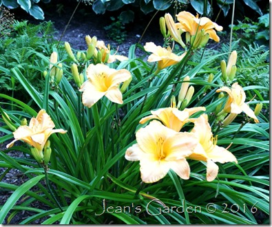 Primozich daylily soft colors
