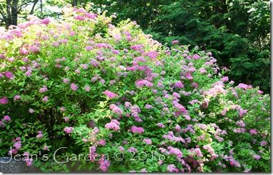 spirea blooms