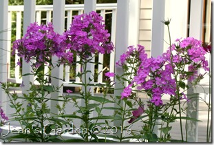 phlox Robert Poore pop
