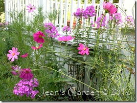 phlox Robert Poore with cosmos