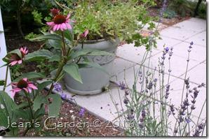 echinacea & lavender
