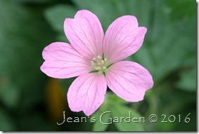 Geranium oxonianum flower