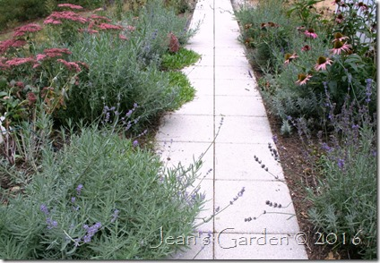 lavender walk September