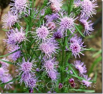 liatris scariosa flowers