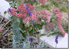 sedum & lavender