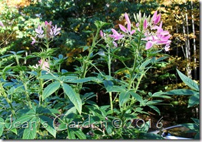 cleome october