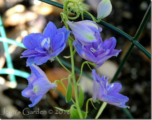 delphinium october