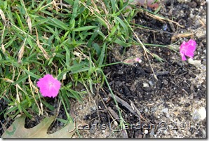 dianthus october