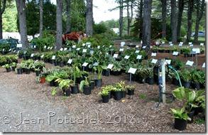 plainview plants for sale hostas
