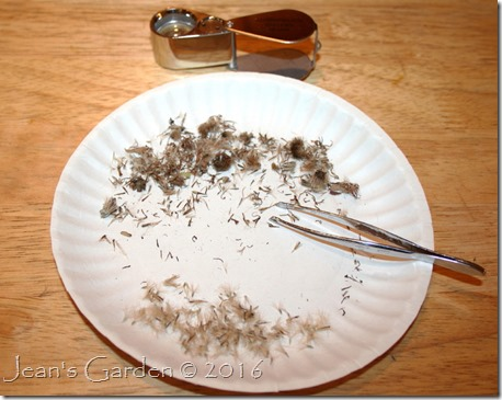 aster seed cleaning