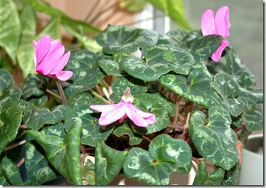 cyclamen first flowers