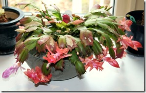 holiday cactus blooming