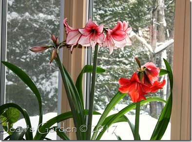 amaryllis in snow