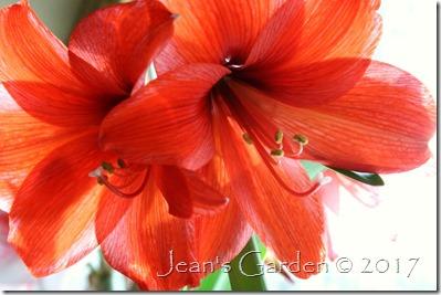 flame red amaryllis