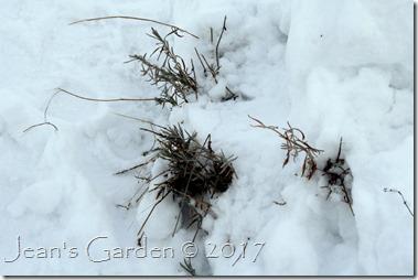 lavender in snow