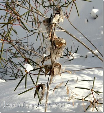 milkweed pods in snow