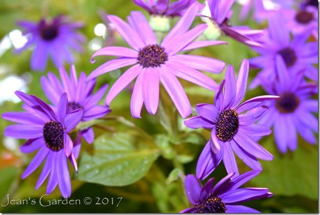 cineraria blooms