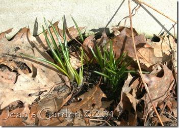 crocus foliage