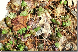 geranium foliage