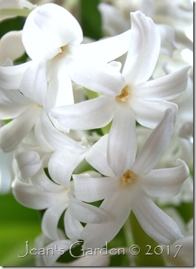 white hyacinth detail