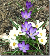 crocus vernus mix1