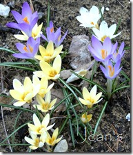 crocus vernus mix2