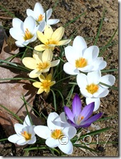 crocus vernus mix3