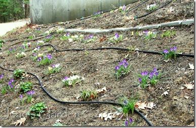 hillside of crocus blooms