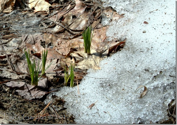 side slope crocuses emerging
