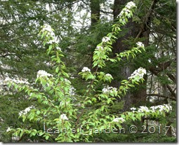 flowering pin cherry