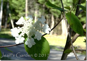 hobblebush blossom