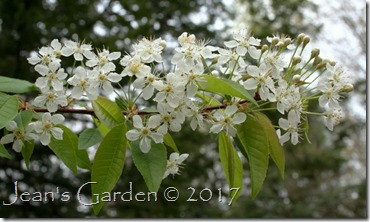 pin cherry blossoms