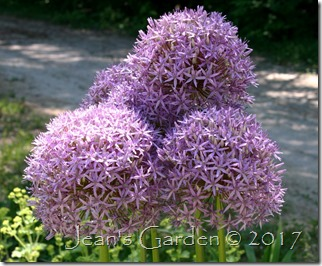 5 globemaster blooms