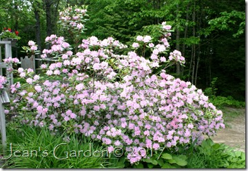 back slope rhododendron 2017