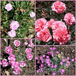 fragrant garden dianthus