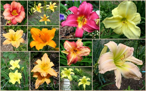 August Daylilies