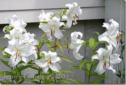 Casa Blanca blooms