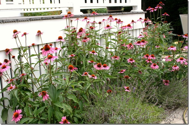 Echinacea August