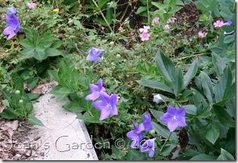 Pink geranium & blue platycodon