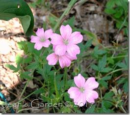 geranium oxonianum september