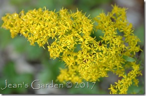 goldenrod flowers September