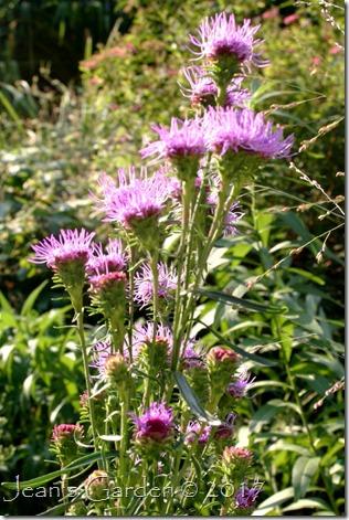 Liatris novae-angliae flowers