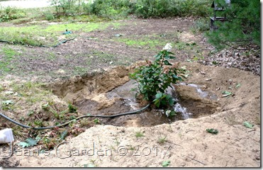 rain garden with hydrangea