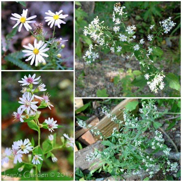 September asters
