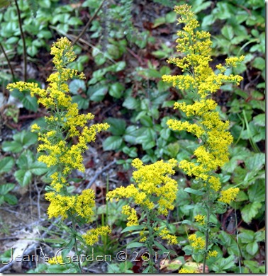 solidago volunteers